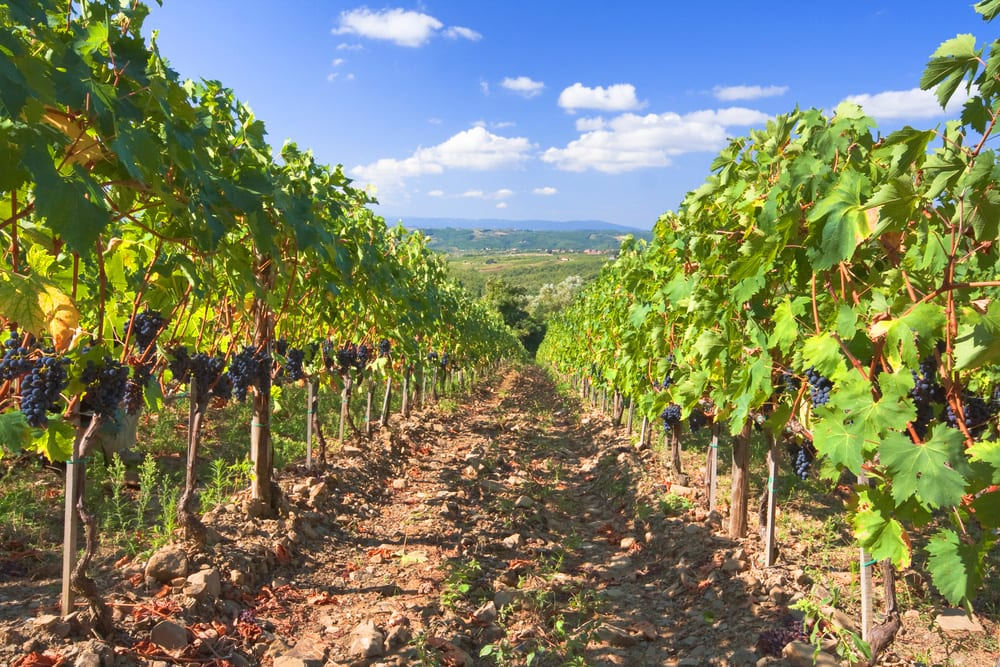 Montalcino vineyard on our Tuscany from Rome tour
